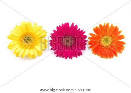 Colorful Gerber Daisies
