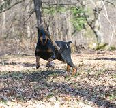 stock photo of doberman pinscher  - doberman pinscher chasing a wood stick midair in the park - JPG