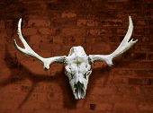 stock photo of shiting  - Moose skull with horns against the red brick wall - JPG