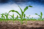 stock photo of early spring  - Young green corn in agricultural field in early spring selective focus - JPG