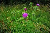 stock photo of scottish thistle  - Thistle flower in the grass one of the finest weed in the flowering period - JPG
