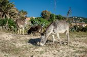 stock photo of headstrong  - Donkey feeding outdoors - JPG