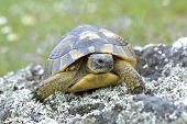 picture of centenarian  - Spur thighed turtle (Testudo graeca) in natural habitat