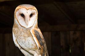 pic of banshee  - A Close up of a Barn Owl - JPG