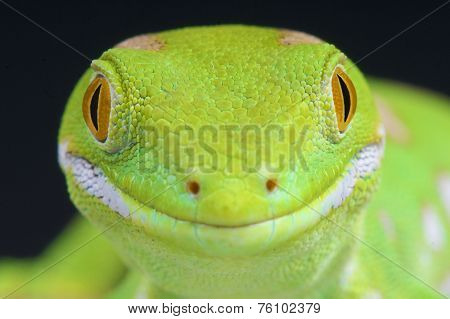 Northern green gecko / Naultinus grayii