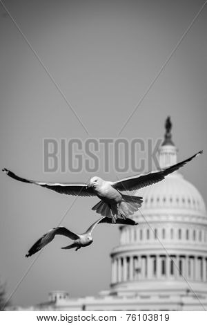 Seagulls with Capitol dome background - Washington DC, USA