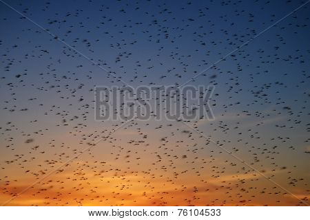 Large swarm of mosquitoes at sunset