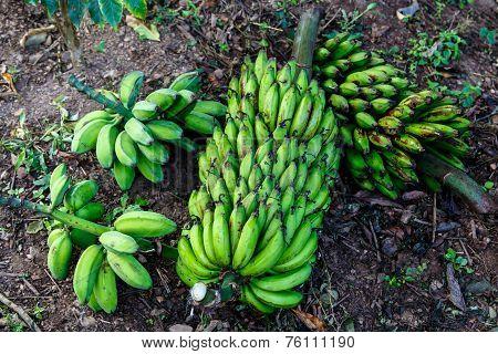 Green Banana Bunch Group From Nicaraguan Farm In Land