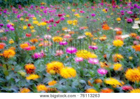 Moody Field of Dahlias