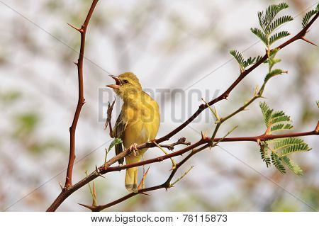 Yellow Weaver - African Wild Bird Background - Even Birds Itch