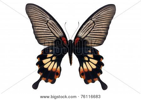 Papilio Memnon Butterfly