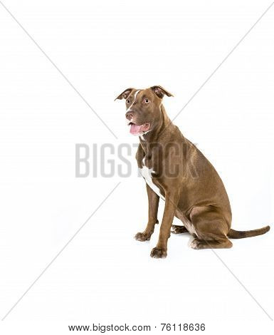 Seated Dog Isolated on White in Profile