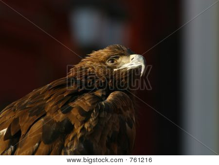 Portrait Of An Eagle