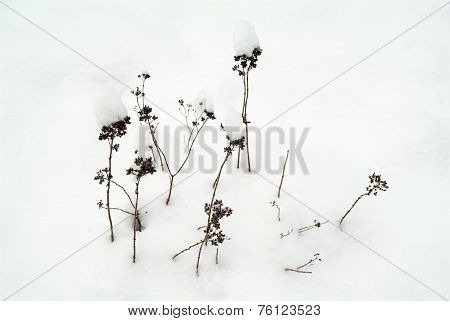 Withered grasses in the snow