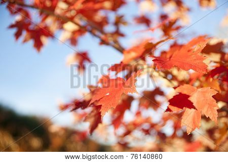 Maple leaves in differential focus, fall leaf.