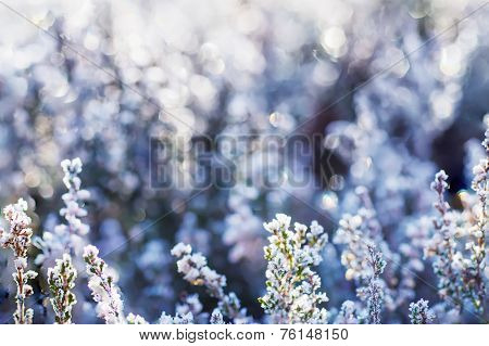 Frozen heather flower