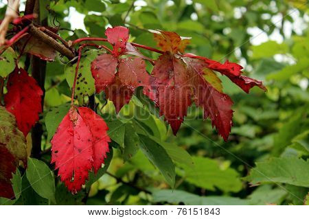 Red Autumn Sumac Leaves with Green Bush