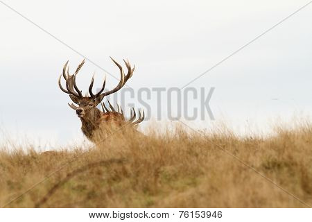 Beautiful Red Deer Stag Looking At Camera