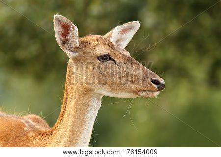 Deer Hind Over Green Background