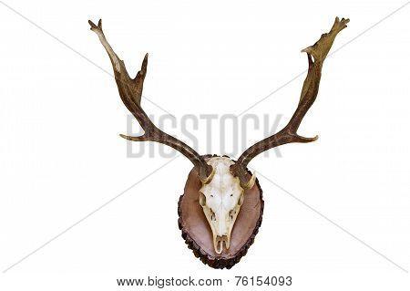 Fallow Deer Hunting Trophy
