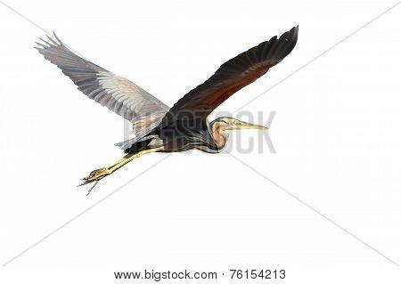 Purple Heron Over White