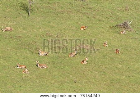 Red Deer Herd Relaxing