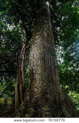 Looking Up The Trunk Of A Giant Rainforest Tree In Nicaragua
