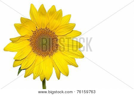 Solo Yellow Sunflower (Helianthus)