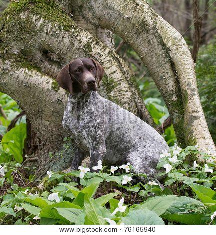 german shorthair pointer sitting in the woods