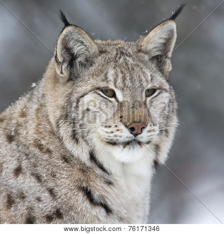 Lynx in thick winter fur