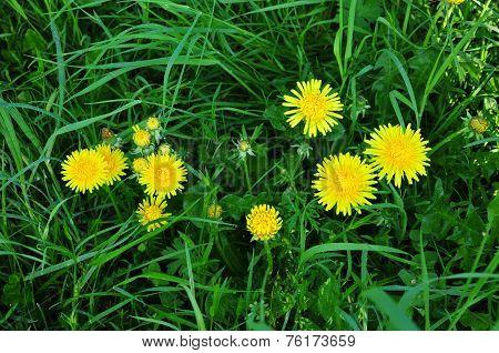 Taraxacum  - genus of perennial herbaceous plants in the family Asteraceae or Compositae (Asteraceae
