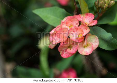 Euphorbia Milli Desmoul Flower, Crown Of Thorns, Christ Thorn  Flower