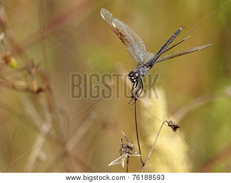 Hanging On - Four-Spotted Pennant Dragonfly