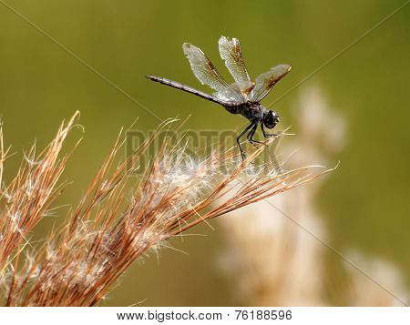 Black Four-Spotted Pennant Dragonfl