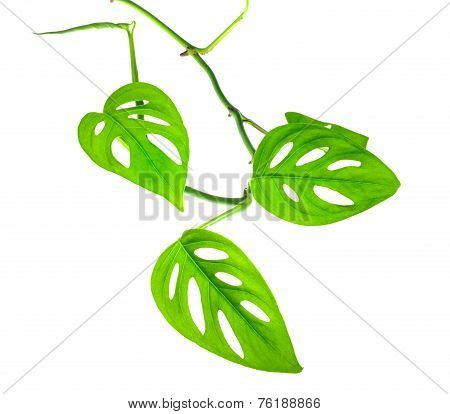 Beautiful Young Green Monstera (var. Expilata) Branch Isolated On White Background, Closeup