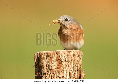 Eastern Bluebird With An Insect