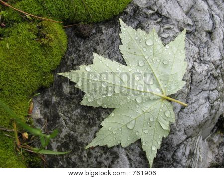 Wet Leaf On Stone
