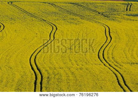 Canola Fields In Spring