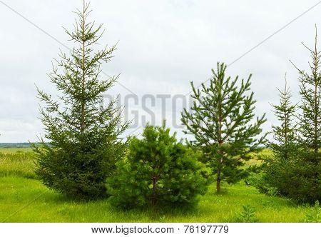 Fir-tree Tree