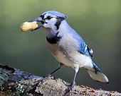 stock photo of blue jay  - A blue  jay  - JPG