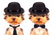 foto of mafia  - Dog dressed as mafia gangster on a white background - JPG