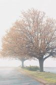 picture of linden-tree  - Linden trees with fall foliage blanketed in fog - JPG
