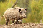 picture of wild hog  - wild hog near stump  - JPG