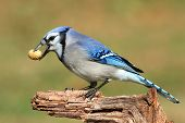 stock photo of blue jay  - Close - JPG
