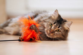 foto of tabby-cat  - The fluffy cat plays with a toy - JPG
