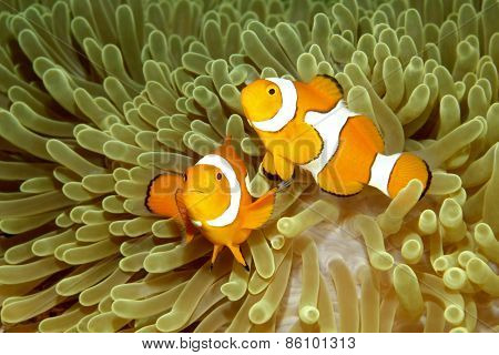 Two Clown Anemonefishes