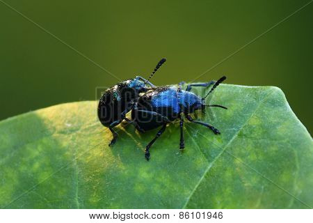 Beetle on the leaf