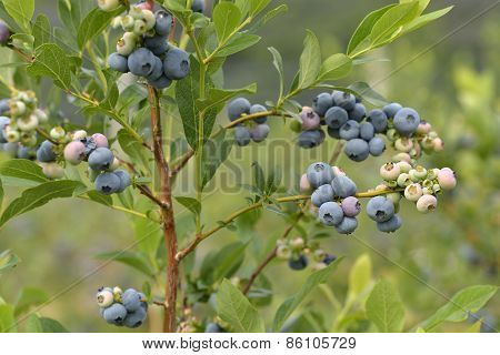 Beautiful Blueberries Of Summer