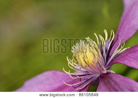 Purple Clematis In Summer