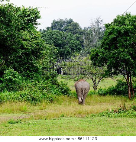 Elephant Is Backing To The Sparse Forest
